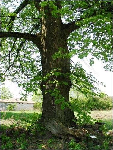 - У вёсцы . Старое дрэва на сучасных могілках ля месца дзе стаяла драўляная царква.